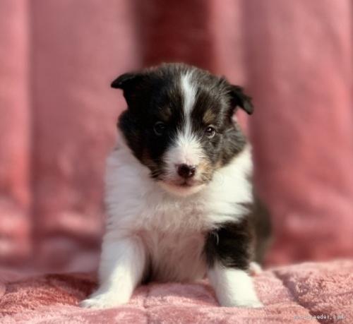 シェットランドシープドッグの子犬(ID:1241011287)の1枚目の写真/更新日:2021-01-19