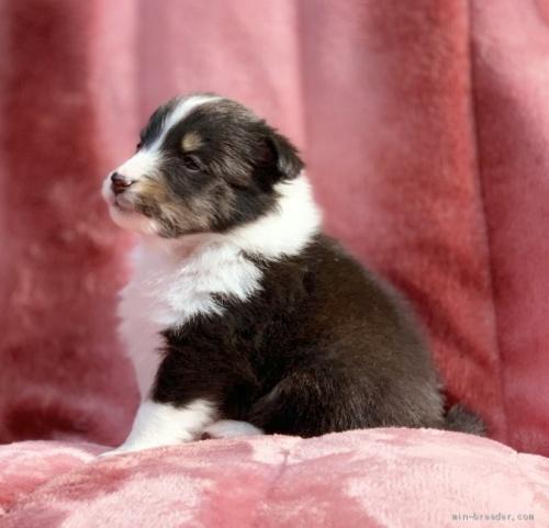 シェットランドシープドッグの子犬(ID:1241011287)の2枚目の写真/更新日:2021-01-19