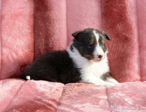 シェットランドシープドッグの子犬(ID:1241011287)の3枚目の写真/更新日:2021-01-19