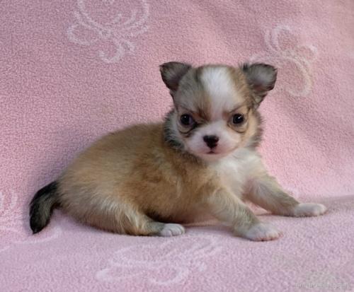 チワワ(ロング)の子犬(ID:1241011289)の2枚目の写真/更新日:2021-02-16