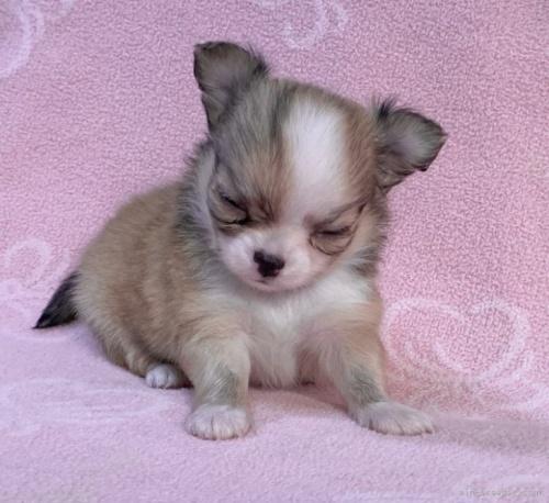 チワワ(ロング)の子犬(ID:1241011289)の3枚目の写真/更新日:2021-02-16