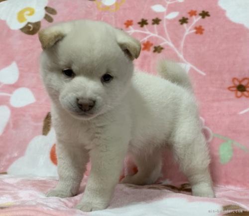 柴犬の子犬(ID:1241011290)の1枚目の写真/更新日:2021-02-19