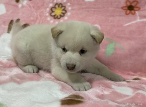 柴犬の子犬(ID:1241011290)の2枚目の写真/更新日:2021-02-19