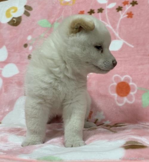 柴犬の子犬(ID:1241011290)の4枚目の写真/更新日:2021-02-19
