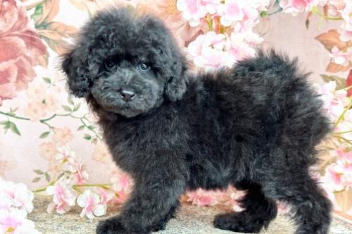 トイプードルの子犬(ID:1241111019)の2枚目の写真/更新日:2020-07-13