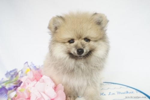 ポメラニアンの子犬(ID:1241111023)の1枚目の写真/更新日:2021-07-09