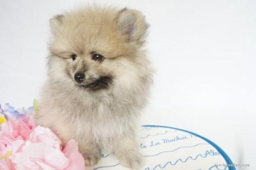 ポメラニアンの子犬(ID:1241111023)の2枚目の写真/更新日:2021-07-09