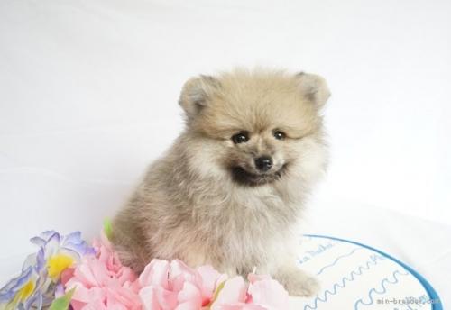 ポメラニアンの子犬(ID:1241111023)の3枚目の写真/更新日:2021-07-09