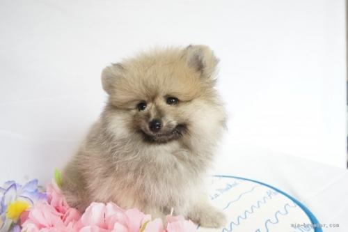 ポメラニアンの子犬(ID:1241111023)の4枚目の写真/更新日:2021-07-09