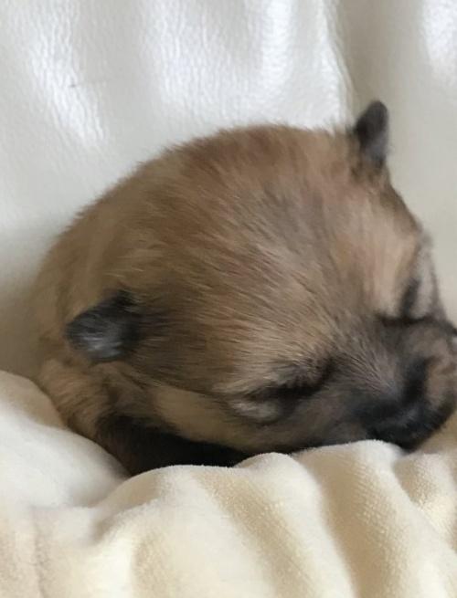 ポメラニアンの子犬(ID:1241211007)の4枚目の写真/更新日:2018-12-24