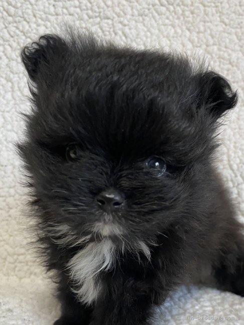 ポメラニアンの子犬(ID:1241211008)の1枚目の写真/更新日:2019-02-07