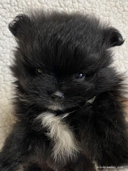 ポメラニアンの子犬(ID:1241211008)の2枚目の写真/更新日:2019-02-07