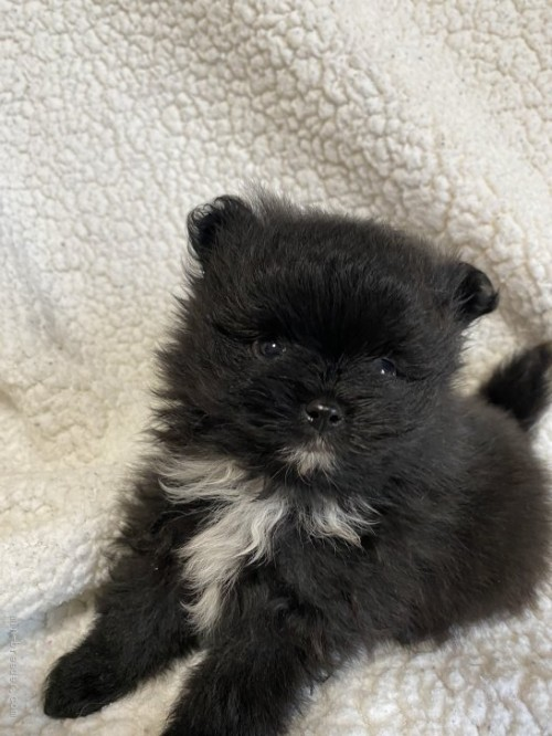 ポメラニアンの子犬(ID:1241211008)の3枚目の写真/更新日:2019-02-07