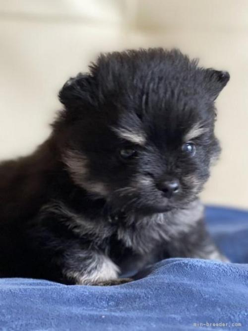 ポメラニアンの子犬(ID:1241211010)の2枚目の写真/更新日:2018-06-29