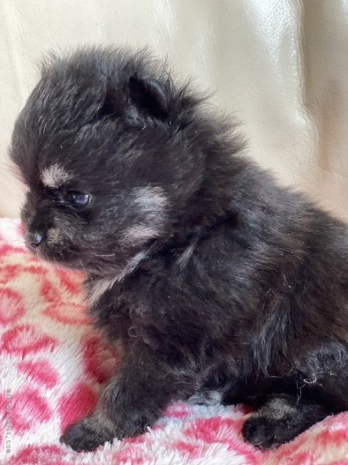 ポメラニアンの子犬(ID:1241211010)の3枚目の写真/更新日:2018-06-29