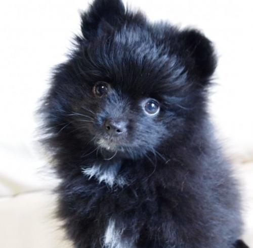 ポメラニアンの子犬(ID:1241211011)の1枚目の写真/更新日:2018-12-17