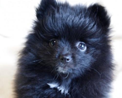 ポメラニアンの子犬(ID:1241211011)の2枚目の写真/更新日:2018-12-17