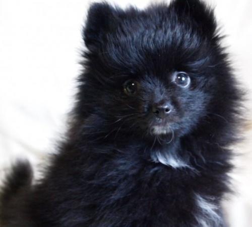 ポメラニアンの子犬(ID:1241211011)の3枚目の写真/更新日:2018-12-17