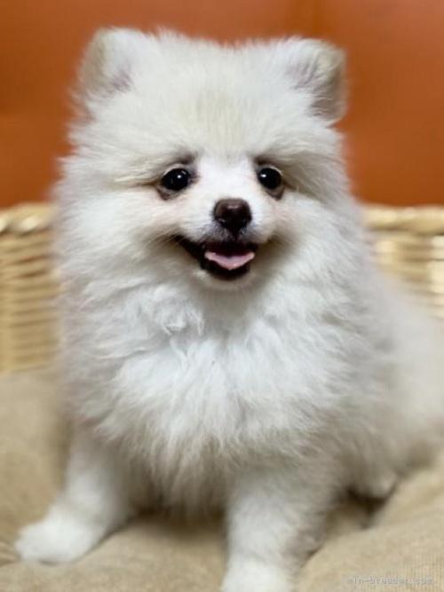 ポメラニアンの子犬(ID:1241211014)の2枚目の写真/更新日:2018-12-17