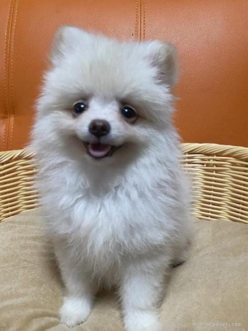 ポメラニアンの子犬(ID:1241211014)の3枚目の写真/更新日:2018-12-17