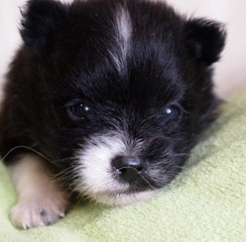 ポメラニアンの子犬(ID:1241211015)の1枚目の写真/更新日:2018-06-12