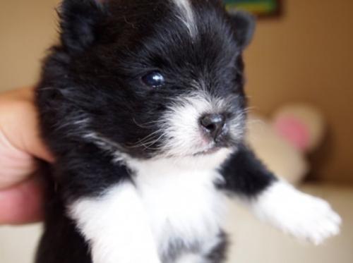 ポメラニアンの子犬(ID:1241211015)の2枚目の写真/更新日:2018-06-12
