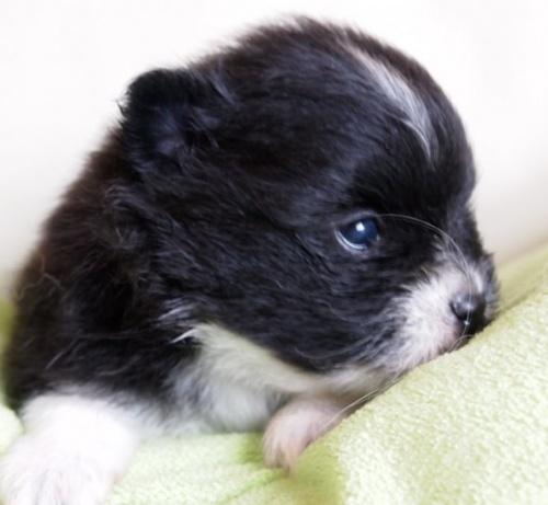 ポメラニアンの子犬(ID:1241211015)の3枚目の写真/更新日:2018-06-12