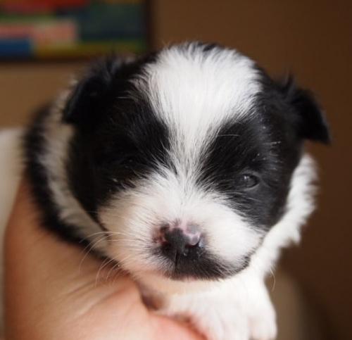ポメラニアンの子犬(ID:1241211017)の1枚目の写真/更新日:2018-06-12