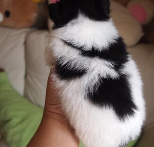 ポメラニアンの子犬(ID:1241211017)の4枚目の写真/更新日:2018-06-12