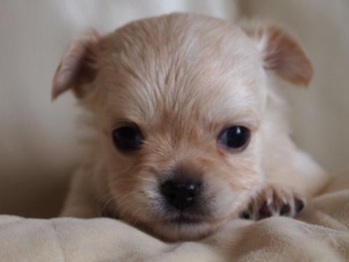 チワワ(ロング)の子犬(ID:1241211018)の1枚目の写真/更新日:2018-12-17