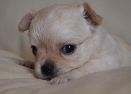 チワワ(ロング)の子犬(ID:1241211018)の2枚目の写真/更新日:2018-12-17