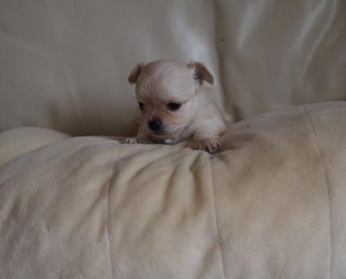 チワワ(ロング)の子犬(ID:1241211018)の3枚目の写真/更新日:2018-12-17