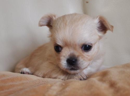 チワワ(ロング)の子犬(ID:1241211019)の2枚目の写真/更新日:2018-12-17