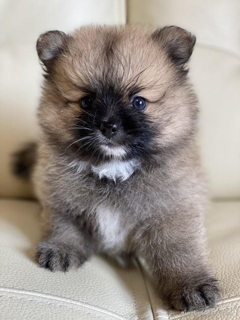 ポメラニアンの子犬(ID:1241211020)の1枚目の写真/更新日:2018-12-17