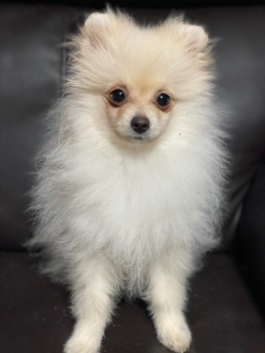 ポメラニアンの子犬(ID:1241211026)の1枚目の写真/更新日:2019-11-30