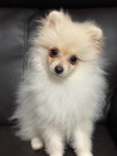 ポメラニアンの子犬(ID:1241211026)の2枚目の写真/更新日:2019-11-30
