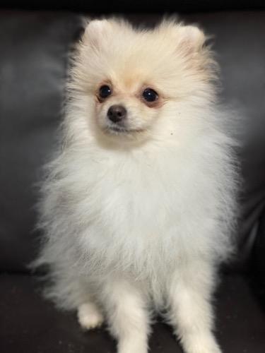 ポメラニアンの子犬(ID:1241211026)の3枚目の写真/更新日:2019-11-30