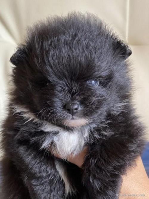 ポメラニアンの子犬(ID:1241211028)の2枚目の写真/更新日:2021-07-21