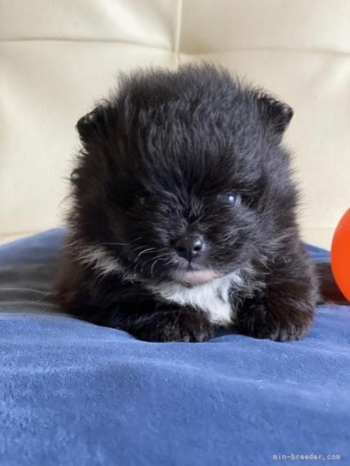 ポメラニアンの子犬(ID:1241211028)の3枚目の写真/更新日:2021-07-21