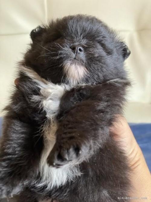ポメラニアンの子犬(ID:1241211028)の4枚目の写真/更新日:2021-07-21
