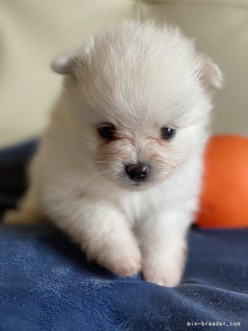 ポメラニアンの子犬(ID:1241211038)の2枚目の写真/更新日:2019-11-30