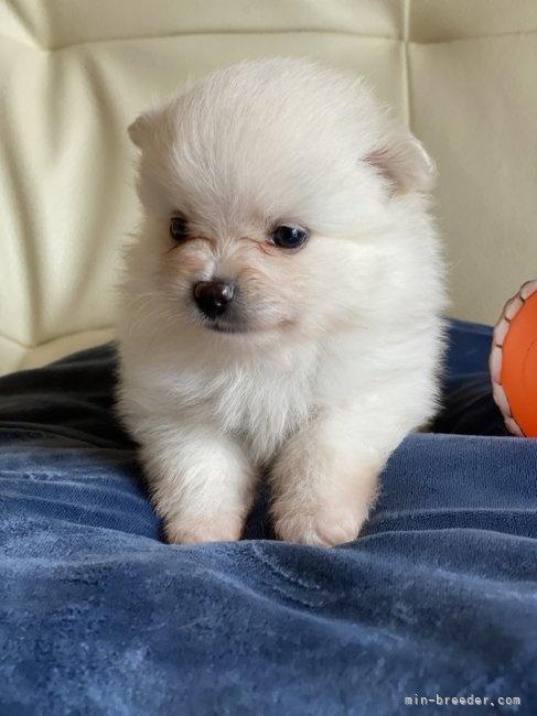 ポメラニアンの子犬(ID:1241211038)の3枚目の写真/更新日:2019-11-30