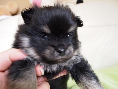 ポメラニアンの子犬(ID:1241211049)の2枚目の写真/更新日:2017-02-20