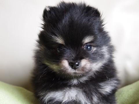 ポメラニアンの子犬(ID:1241211050)の1枚目の写真/更新日:2017-04-18