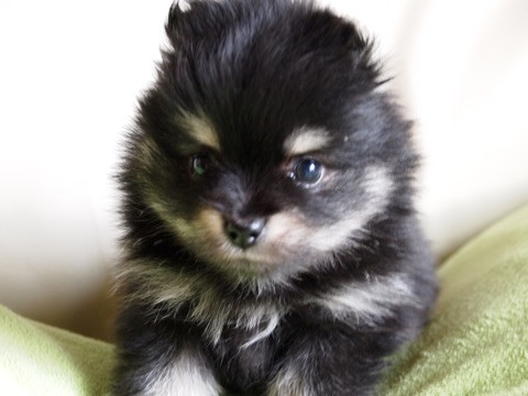 ポメラニアンの子犬(ID:1241211050)の2枚目の写真/更新日:2017-04-18