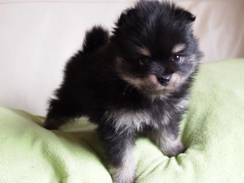 ポメラニアンの子犬(ID:1241211050)の3枚目の写真/更新日:2017-04-18