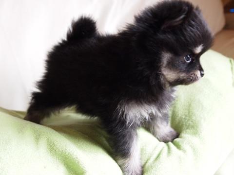 ポメラニアンの子犬(ID:1241211050)の4枚目の写真/更新日:2017-04-18