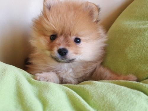 ポメラニアンの子犬(ID:1241211051)の1枚目の写真/更新日:2017-06-06