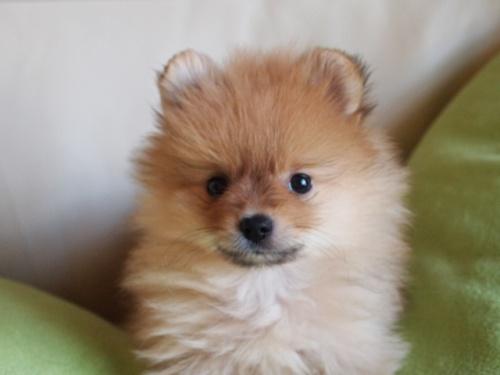 ポメラニアンの子犬(ID:1241211051)の2枚目の写真/更新日:2017-06-06