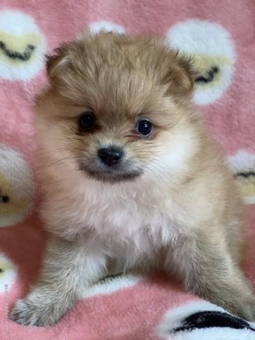ポメラニアンの子犬(ID:1241211057)の1枚目の写真/更新日:2020-09-22